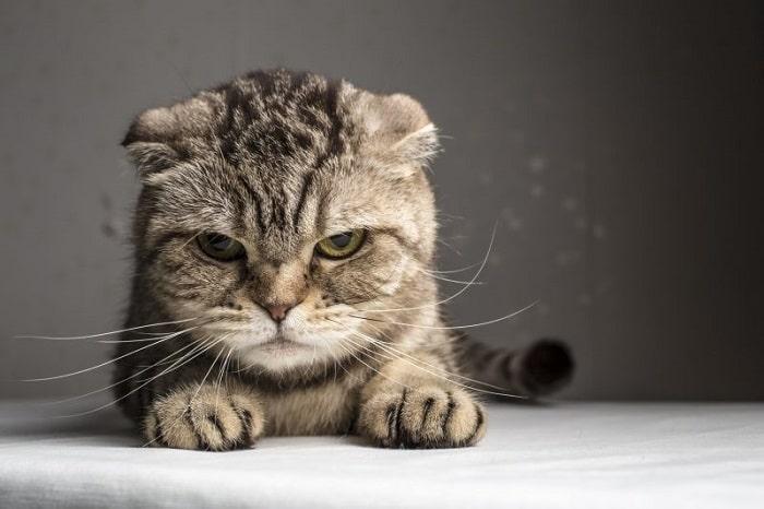 chữa mèo bị stress