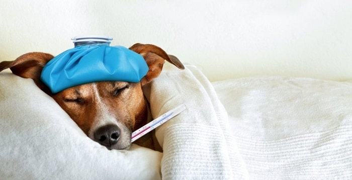 dấu hiệu chó bị sốt