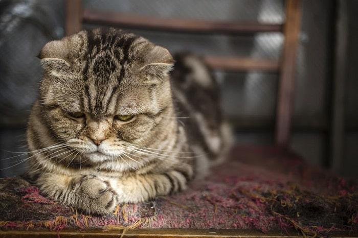 dấu hiệu mèo bị stress