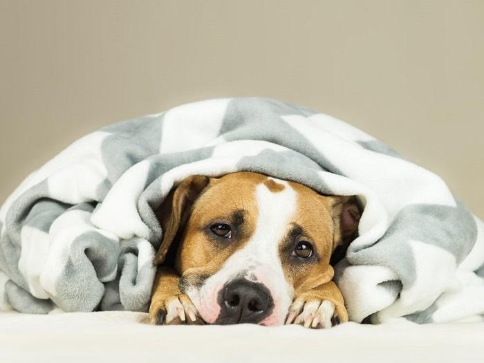 điều trị chó bị sốt