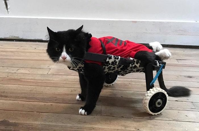 điều trị mèo liệt chân