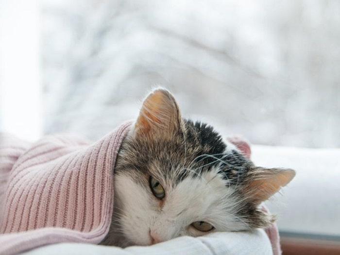 mèo bị cảm lạnh
