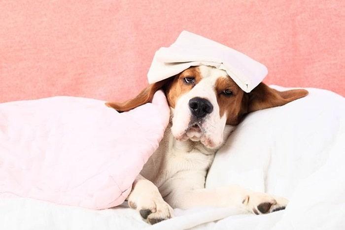 nguyên nhân chó bị sốt