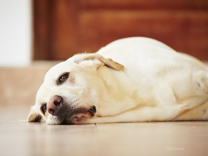 Nguyên Nhân Chó Bị Tiêu Chảy