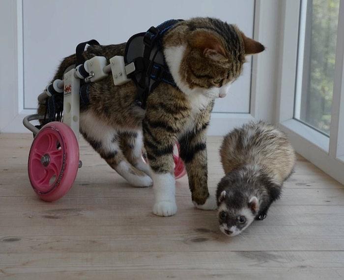 nguyên nhân mèo bị liệt