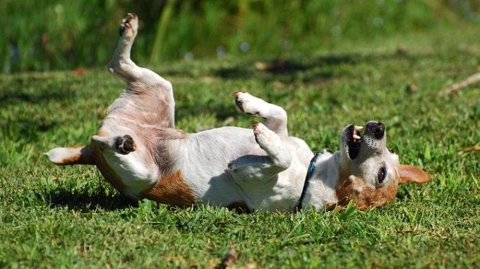 triệu chứng chó bị viêm da