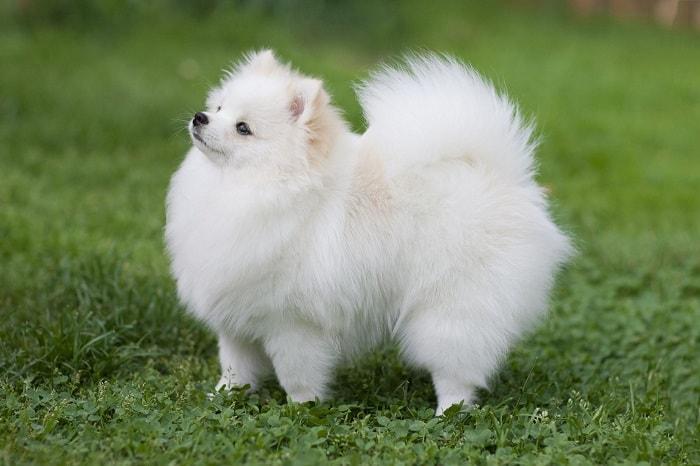 Chó Teacup Pomeranian Phốc Sóc