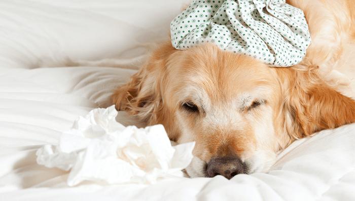 Bệnh Care Ở Chó Là Gì?