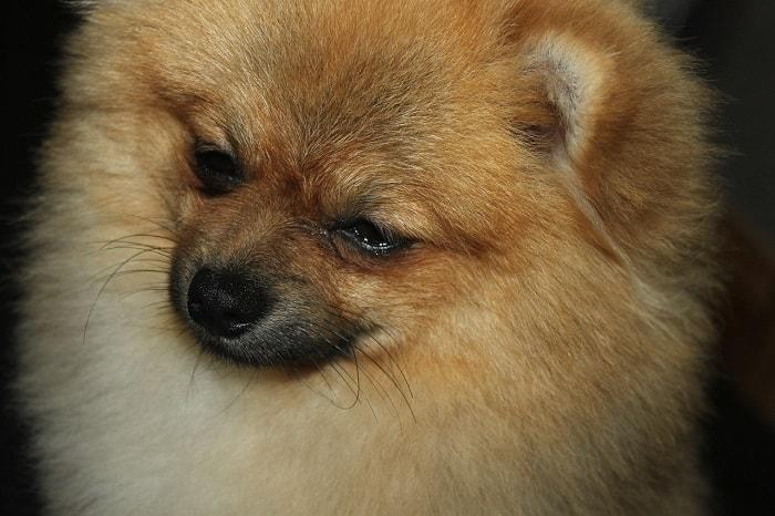 chăm sóc bộ lông cho chó pom