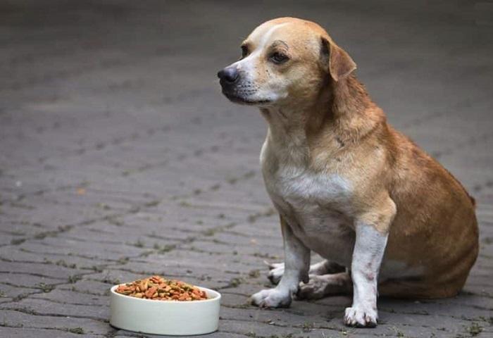 chữa trị chó biếng ăn
