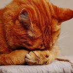 mèo nhiễm covid 19