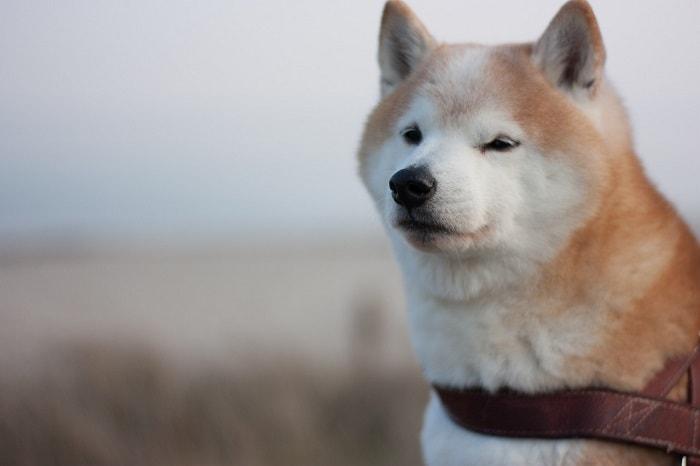 Cách Chăm Sóc Lông Chó Shiba
