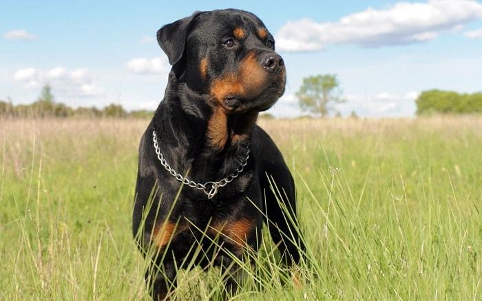 Chế Độ Dĩnh Dưỡng Chó Rottweiler