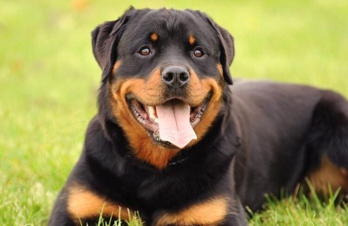 Chế Độ Tập Luyện Của Chó Rottweiler