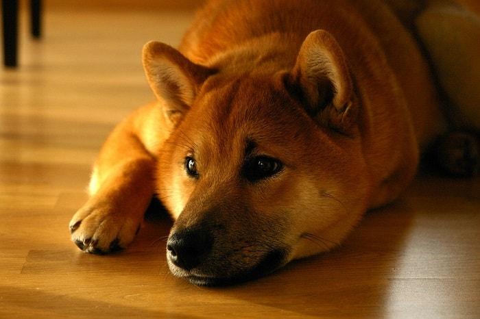 Đặc Điểm Chó Shiba