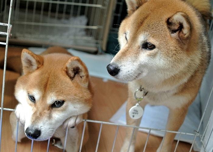 giá bán chó Shiba