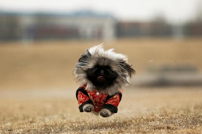 Giá Của Chó Bắc Kinh Phụ Thuộc Vào Những Yếu Tố Nào
