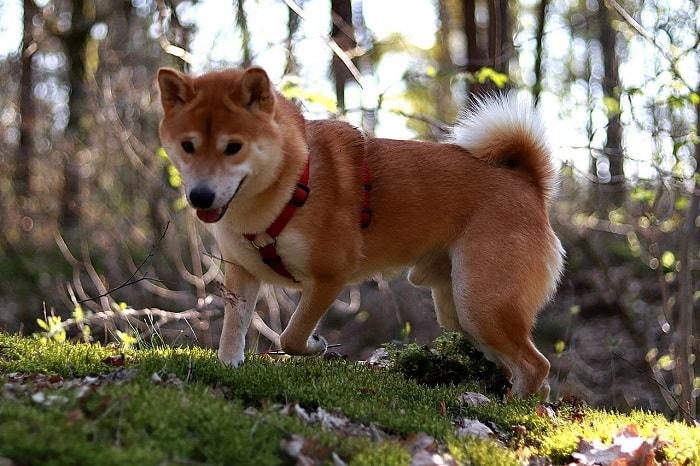 Giá Chó Shiba Inu Nhập Khẩu