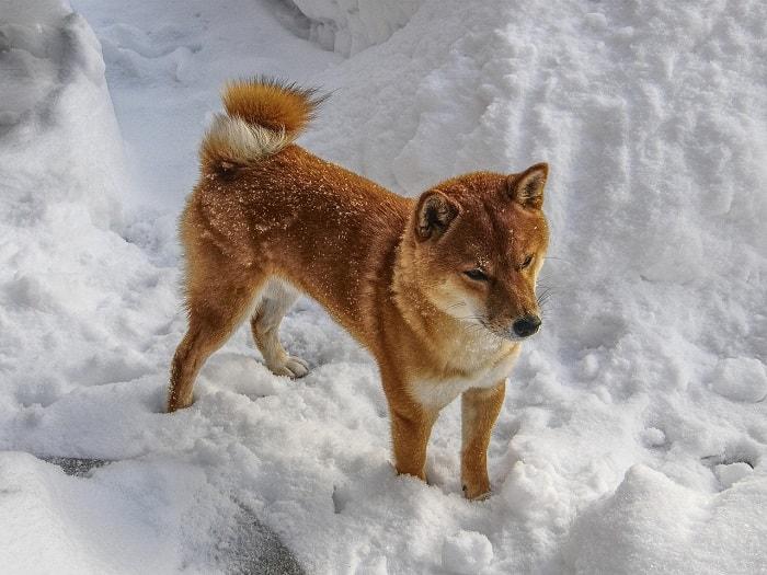 Những Lưu Ý Khi Nuôi Chó Shiba Inu