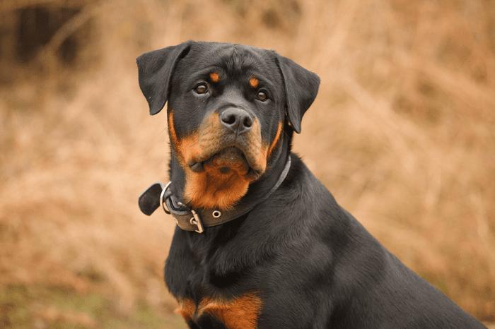 Thức Ăn Cho chó Rottweiler Trưởng Thành
