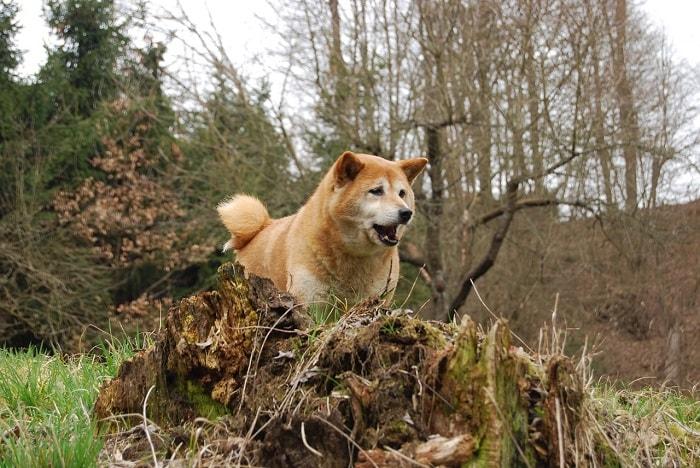 Yếu Tố Ảnh Hưởng Tới Giá Tiền Chó Shiba