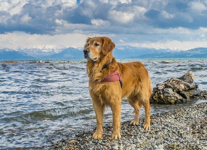 chăm sóc chó golden retriever