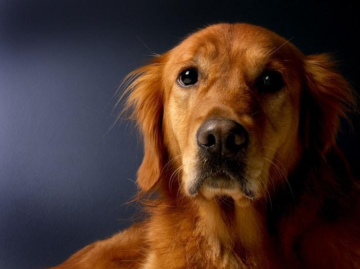 Chế Độ Ăn Uống Của Chó Golden Retriever