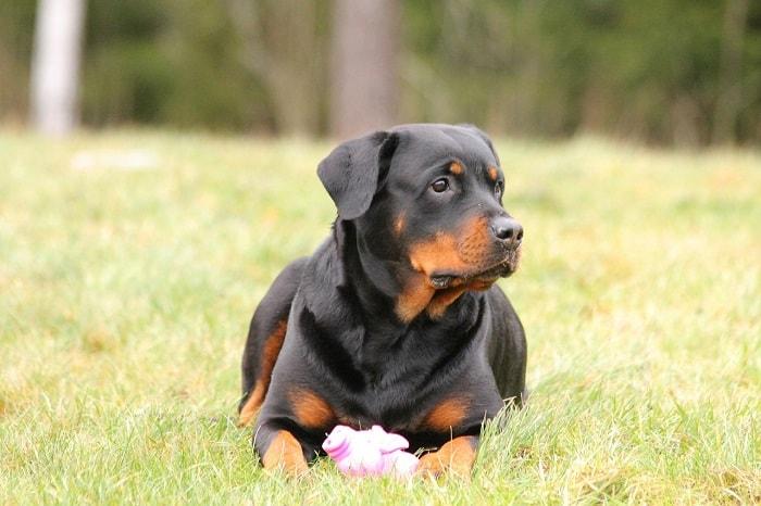 Giá Chó Rottweiler Lai