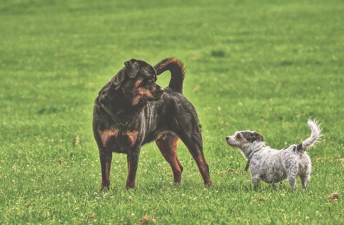 giá chó Rottweiler