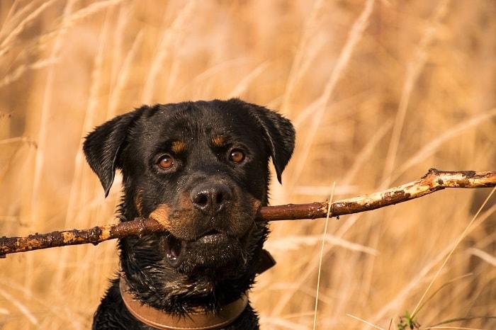 Chó Rottweiler Nhập Từ Châu Âu
