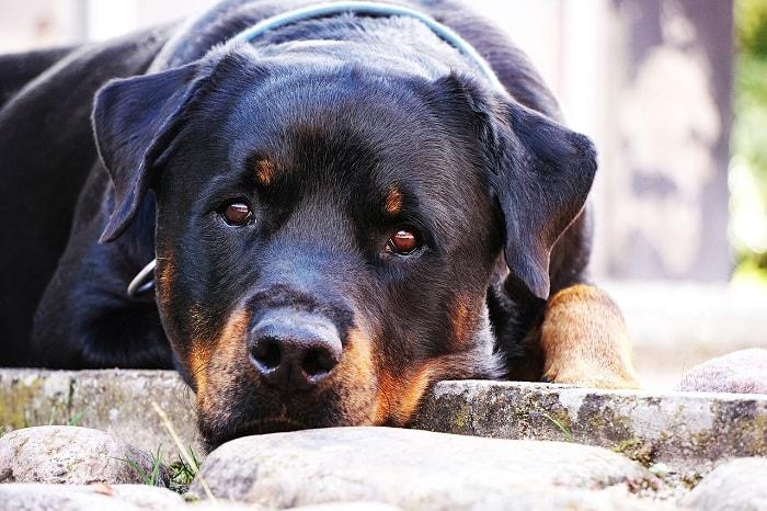 Giá Chó Rottweiler Nhập Từ Thái Lan