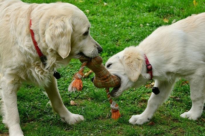 Huấn Luyện Chó Golden Đi Vệ Sinh Đúng Chỗ