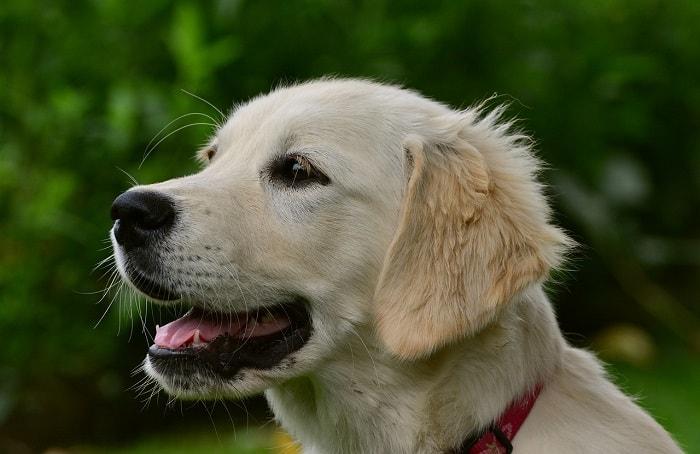 Môi Trường Sống Chó Golden Retriever