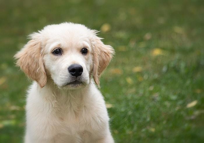 Nguồn Gốc Chó Golden Retriever