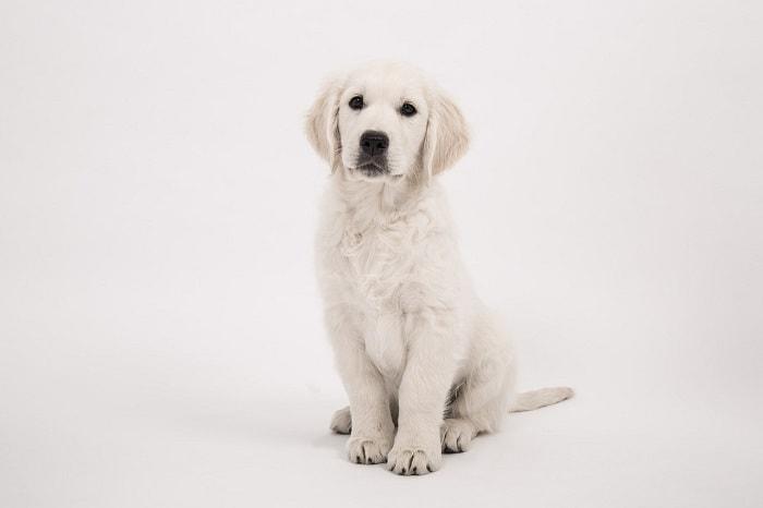 Tính Cách Chó Golden Retriever