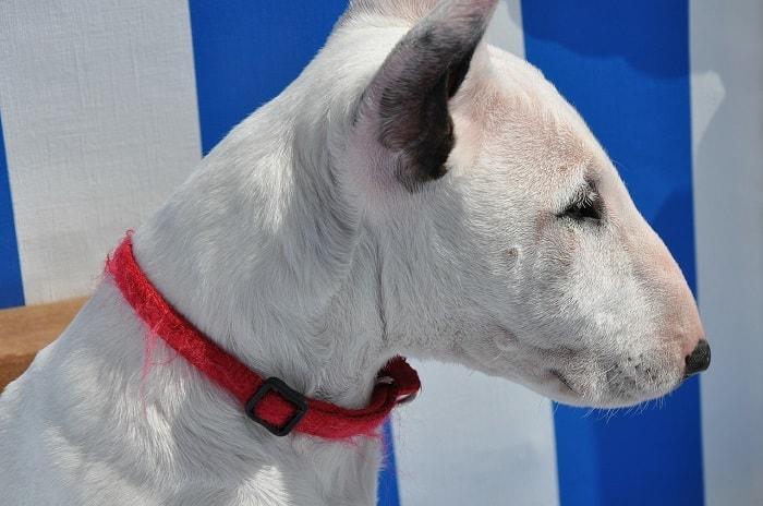 Cách Vệ Sinh Chó Sục Bò Bull Terrier