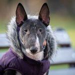 Chó bull terrier