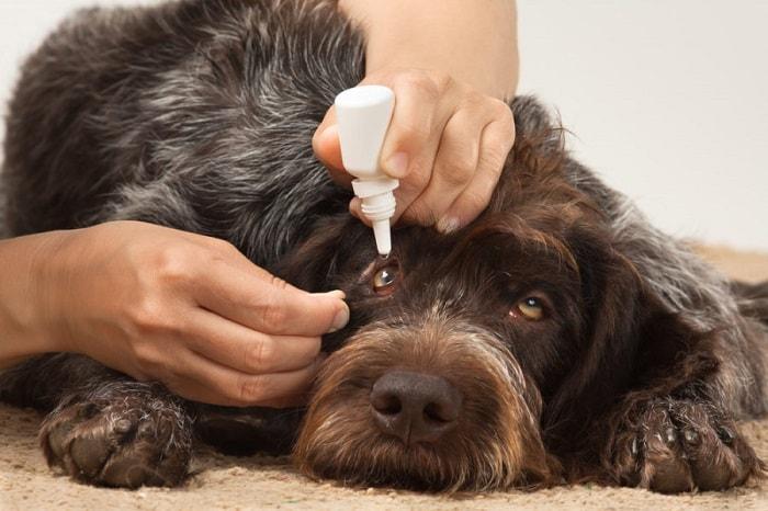 Dấu Hiệu Cách Điều Trị Chó Bị Đau Mắt