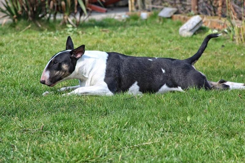 giá chó Bull Terrier