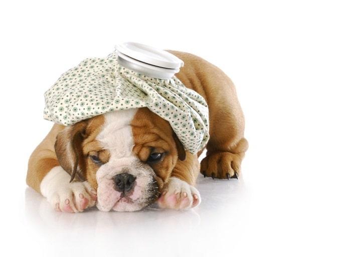 Nguyên Nhân Khiến Chó Bị Sốc Nhiệt