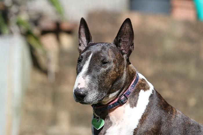 sức khỏe Chó bull terrier