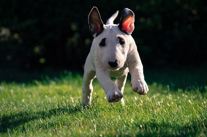 tập tính Chó bull terrier