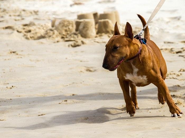 Tiêm Phòng Cho Chó Sục Bò Bull Terrier