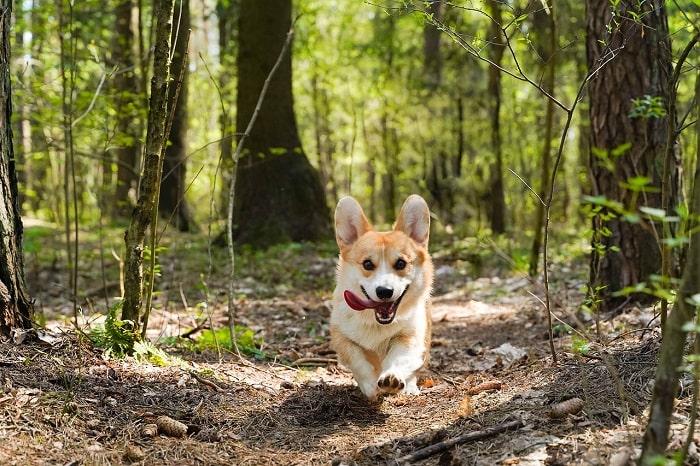 Hướng Dẫn Cách Chọn Mua Chó Corgi