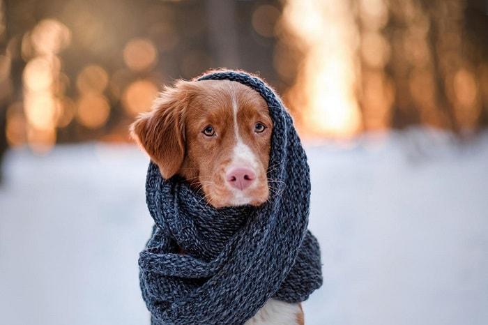 Cách Chữa Trị Chó Bị Cảm Lạnh