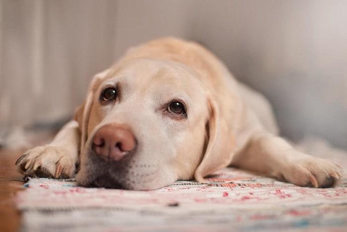 Cách Điều Trị Chó Bị Chảy Máu Mũi