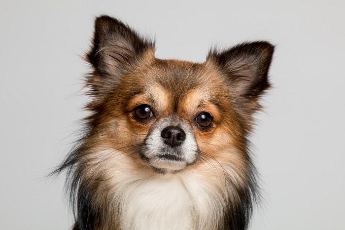 Nguồn gốc chó Chihuahua