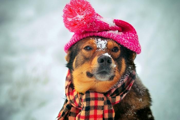 Nguyên Nhân Chó Bị Cảm Lạnh