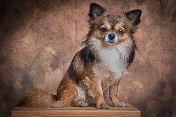 Tính Cách Chó Chihuahua