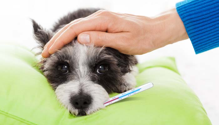 Bệnh Care Ở Chó Con